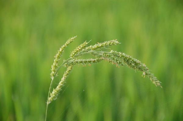 Echinochloa spp.